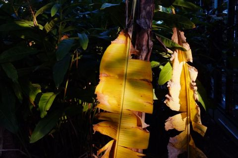 Banana leaf with glangal in background