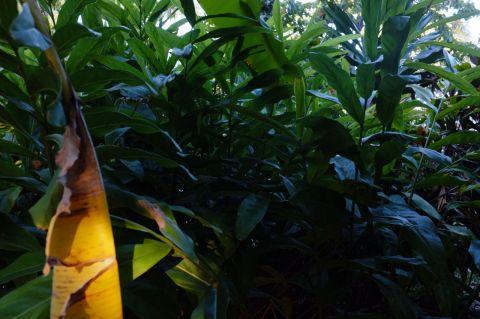 Galangal plant